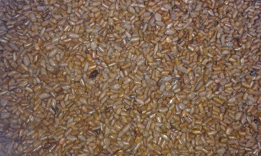 cassia-tora-seeds