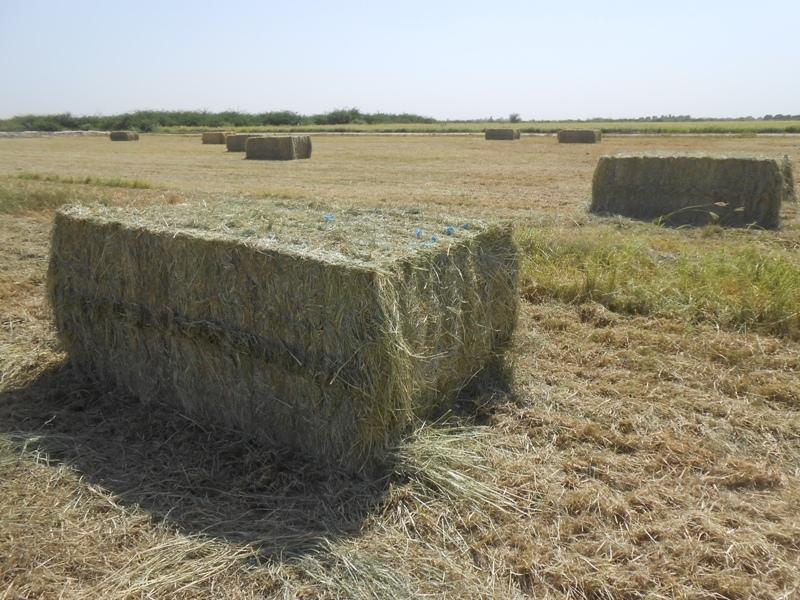 rhodes-grass-hay
