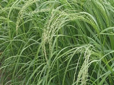 teff-grass