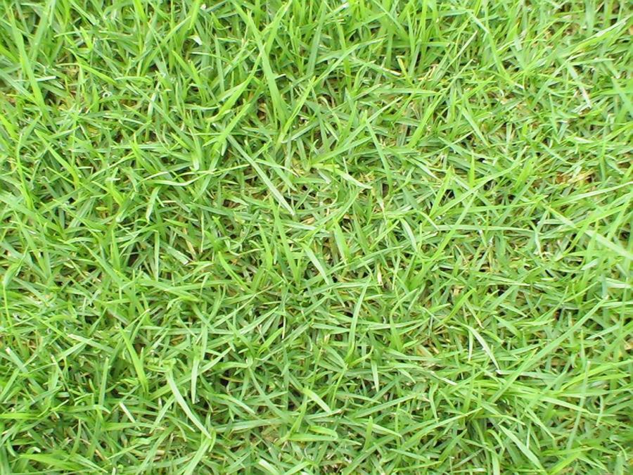 kikuyu-grass-